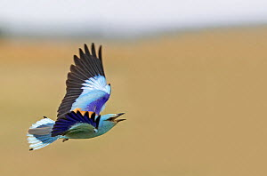 European Roller (Coracias garrulus) in flight, Hungary May - Markus Varesvuo