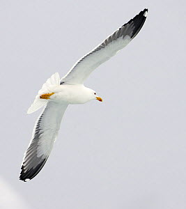 Lesser Black-backed Gull (Laris fuscus) flying, Iceland June - Markus Varesvuo