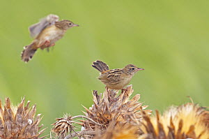 Fan-Tailed Warbler (Cisticola juncidis) feeding on flower seeds, Spain, September  -  Markus Varesvuo