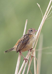 Fan-Tailed Warbler (Cisticola juncidis), Spain, September  -  Markus Varesvuo