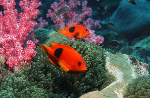 Red saddleback anemonefish (Amphiprion ephippium) on coral reef, Andaman Sea, Thailand  -  Georgette Douwma
