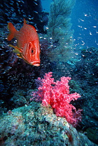 Giant / Long jawed squirrelfish (Sargocentron spiniferum) with soft coral. Andaman Sea, Thailand. (Digital composite). - Georgette Douwma