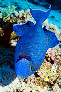 Blue triggerfish (Pseudobalistes fuscus) searching for food on coral reef, Red Sea, Egypt - Georgette Douwma