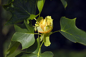 Flower of Tulip tree / Yellow poplar (Liriodendron tulipifera) The tallest hardwood tree in eastern North America. USA - Georgette Douwma