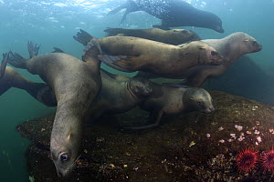 Group of Steller sealions (Eumetopias jubata) playing in the waters of British Columbia, Canada  -  Brandon Cole