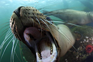 Steller sealion (Eumetopias jubata) approaching with mouth wide open, playing in the waters of British Columbia, Canada  -  Brandon Cole
