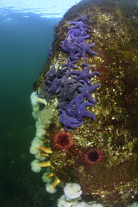 Ochre Sea Stars (Pisaster ochraceus), Red Sea Urchins (Stronglyocentrotus franciscanus), and Plumose Sea Anemones (Metridium senile) on a rock in the seas of British Columbia, Canada  -  Brandon Cole