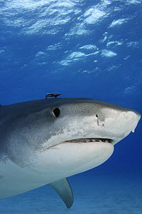 Tiger Shark (Galeocerdo cuvier) with remora,  Bahamas NOT FOR SALE IN THE USA  -  Brandon Cole