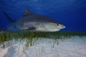 Tiger Shark (Galeocerdo cuvier) swimming over seagrass in the Bahamas, Atlantic Ocean NOT FOR SALE IN THE USA  -  Brandon Cole