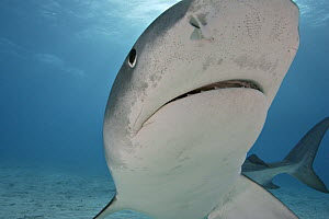 Tiger Shark (Galeocerdo cuvier) portrait, Bahamas NOT FOR SALE IN THE USA  -  Brandon Cole