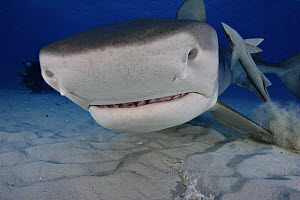 Tiger Shark (Galeocerdo cuvier) and remora with diver in the background, Bahamas NOT FOR SALE IN THE USA  -  Brandon Cole