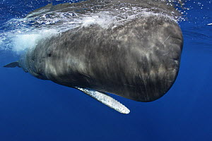Sperm Whale (Physeter macrocephalus) portrait with open mouth, at the water surface, Dominica, Caribbean Sea  -  Brandon Cole