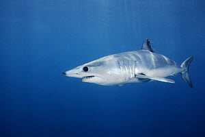 Shortfin Mako Shark (Isurus oxyrinchus), California. Mako sharks can swim at speeds of 30-45mph, and would win a bronze swimming medal in an animal olympics competition.  -  Brandon Cole
