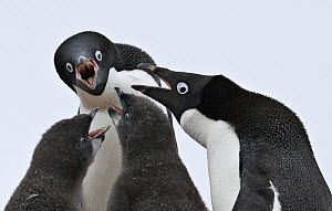 Adelie penguins (Pygoscelis adeliae), adults and chicks begging, Paulet Island, Antarctica. - Carol Walker