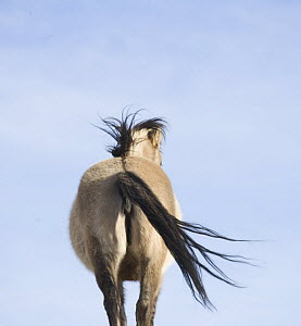 Mustang (Equus caballus) mare rear view in winter, grulla color with primitive stripes on legs and back. Pryor Mountains, Montana.  -  Carol Walker