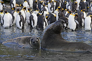 Elephant Seals (Mirounga genus) in the water in front of a group of King Penguins (Aptenodytes patagonicus). Gold Beach, South Georgia Island, Sub Antarctica. - Carol Walker