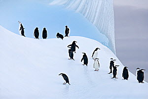 RF- Group of Chinstrap Penguins (Pygoscelis antarctica) on ice. South Orkney Islands. - Carol Walker