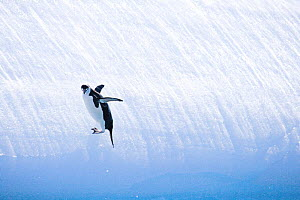 Chinstrap Penguin (Pygoscelis antarctica), adult sliding down ice. South Orkney Islands, Antarctica.  -  Carol Walker