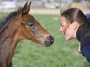 Woman face to face with Bay Oldenburg filly (Equus caballus)  Fort Collins, Colorado. Model released.  -  Carol Walker