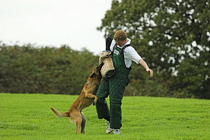 Man training Belgian shepherd / Malinois dog to attack, trainer wearing padded protective suit, UK  -  Colin Seddon