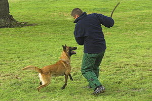Man training Belgian shepherd / Malinois dog; trainer wearing padded protective suit, UK  -  Colin Seddon