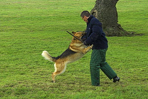 Man training Belgian shepherd / Malinois dog to attack, trainer wearing padded protective clothing, UK  -  Colin Seddon