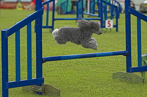 Miniature Poodle leaping over hurdle during competition, UK - Colin Seddon