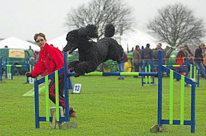 Standard Poodle leaping over high  jump during competition, UK  -  Colin Seddon