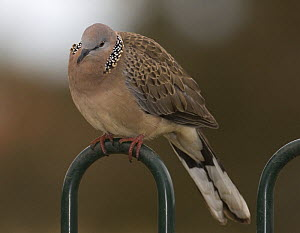 Spotted Turtle Dove {Spilopelia chinensis} perched on park fence, Victoria, Australia - Roger Powell
