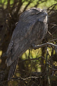 Tawny Frogmouth {Podargus strigoides} sleeping in shaded daytime roost, Victoria, Australia  -  Roger Powell