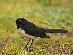Willie Wagtail / Black and white fantail {Rhipidura leucophrys} Victoria, Australia  -  Roger Powell