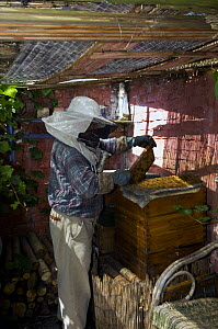 Beekeeper with smoker to calm honey bees (Apis mellifera), pulling out combs from hive, Belgium  -  Philippe Clement