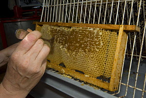 Beekeeper scraping the waxy coverings from honeycomb cells of the honey bee (Apis mellifera), Belgium - Philippe Clement