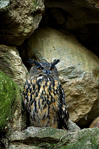 Captive Eagle Owl (Bubo bubo) roosting in cliff at the Wildpark, Bavarian Forest, Germany  -  Philippe Clement