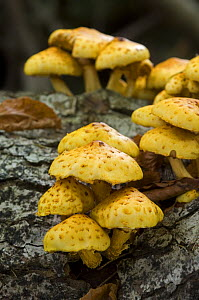 Golden scalycap (Pholiota aurivella) growing on a tree trunk in a broadleaf forest, Germany - Philippe Clement