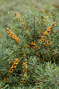 Sea buckthorn (Hippophae rhamnoides) with orange berries in sand dunes, Belgium - Philippe Clement