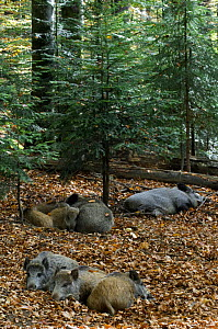 Family of captive Wild boars (Sus scrofa) sleeping at Wildpark in the Bavarian Forest, Germany  -  Philippe Clement