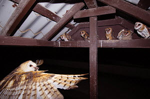 Barn Owl {Tyto alba} adult bringing mouse prey to young in nest, Rio Grande Valley, Texas, USA, May  -  Rolf Nussbaumer