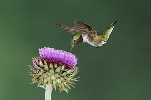 Broad-tailed Hummingbird {Selasphorus platycercus} male in flight feeding on Musk Thistle (Carduus nutans) Rocky Mountain National Park, Colorado, USA, June  -  Rolf Nussbaumer