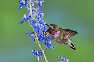 Broad-tailed Hummingbird {Selasphorus platycercus} male in flight feeding on Larkspur flower (Delphinium sp.) Rocky Mountain National Park, Colorado, USA, June  -  Rolf Nussbaumer