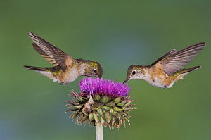 Broad-tailed Hummingbird {Selasphorus platycercus} two females in flight feeding on Musk Thistle (Carduus nutans) Rocky Mountain National Park, Colorado, USA, June  -  Rolf Nussbaumer