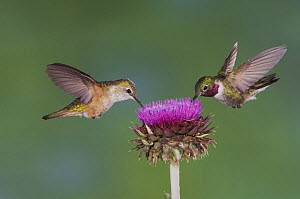 Broad-tailed Hummingbird {Selasphorus platycercus} male and female in flight feeding on Musk Thistle (Carduus nutans) Rocky Mountain National Park, Colorado, USA, June - Rolf Nussbaumer