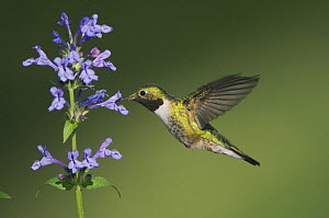Broad-tailed Hummingbird {Selasphorus platycercus} male in flight feeding on  Siberian Catmint flower (Nepeta sibirica) Rocky Mountain National Park, Colorado, USA, June  -  Rolf Nussbaumer