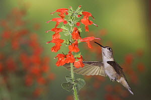 Broad-tailed Hummingbird {Selasphorus platycercus} male in flight feeding on Lady in Red sage (Salvia coccinea) Rocky Mountain National Park, Colorado, USA, June  -  Rolf Nussbaumer