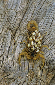 Scorpion {Centruroides sp} female carrying hatchlings on her back, Rio Grande Valley, Texas, USA, May - Rolf Nussbaumer