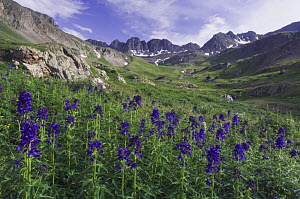 Mountains and wildflowers in alpine meadow, Tall Larkspur flowers {Delphinium barbeyi}, Ouray, San Juan Mountains, Rocky Mountains, Colorado, USA, July 2007  -  Rolf Nussbaumer