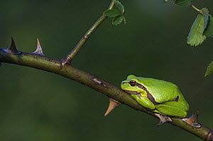 Common Tree Frog {Hyla arborea} adult resting in wild rose bush, National Park Lake Neusiedl,  Austria, April  -  Rolf Nussbaumer