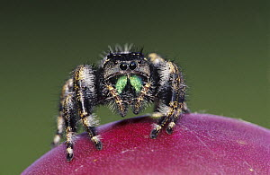 Daring Jumping Spider {Phidippus audax} adult on fruit of Texas Prickly Pear Cactus (Opuntia lindheimeri) Rio Grande Valley, Texas, USA, June - Rolf Nussbaumer