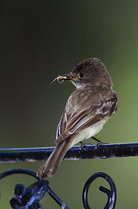 Eastern Phoebe {Sayornis phoebe} adult with insect prey, perched on railing, Texas, USA, April  -  Rolf Nussbaumer