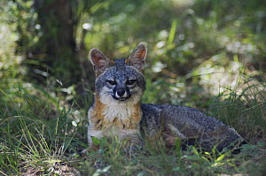 Gray Fox {Urocyon cinereoargenteus} adult resting in the shade, Hill Country, Texas, USA, June  -  Rolf Nussbaumer